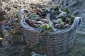 Frozen basket with cones and Ilex (Holly) on the bed