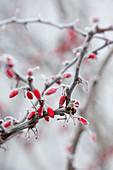 Frozen Berberis vulgaris branch with red berries