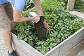 Cultivation and harvest of potatoes in a potato box