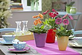 Gerbera jamesonii in colorful planters as table decoration