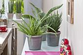 Aloe vera 'Sweet' syn barbadensis 'Miller', Sansevieria francisii, trifasciata