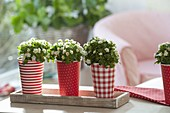 Red and white paper cups as planters for Exacum affine 'Zwerg Weiss'