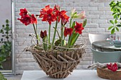 Hippeastrum (Amaryllis) in bowl covered with driftwood