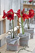 Hippeastrum (Amaryllis) in pots with felt cover