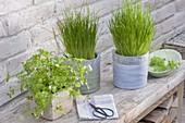 Töpfe mit Schnittlauch (Allium schoenoprasum) und Petersilie (Petroselinum