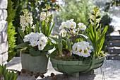 Primula acaulis (primrose), Hyacinthus 'White Pearl' (hyacinth)