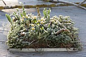 Eranthis and Galanthus with hoarfrost