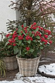 Skimmia reevesiana (Japanese fruit scoop) in the basket planter