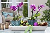 Mini-Phalaenopsis (Malayenblume, Schmetterlingsorchidee)
