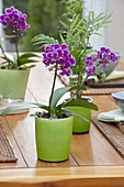 Phalaenopsis and Chamaedorea