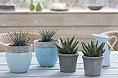 Haworthia fasciata 'Big Band' in blue-gray pots