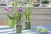 Nolina in green cups, Phalaenopsis