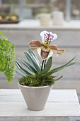 Paphiopedilum Hybrid (Lady's Slipper Orchid)
