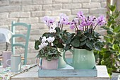 Cyclamen persicum (cyclamen) in ceramic jugs on tray