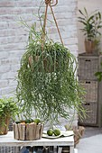Wooden bowl as a flower basket with Rhipsalis cassutha