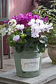 Topf mit Cyclamen (Alpenveilchen) und Primula malacoides (Fliederprimel)