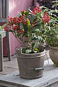 Skimmia reevesiana (May bush)