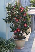 Camellia sasanqua 'Yuletide' (camellia)