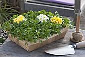 Spank basket planted with corn salad and primula acaulis