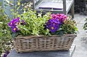 Basket with Primula acaulis and Elatior hybrid 'Gold Lace'