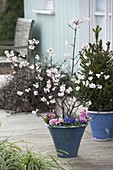 Viburnum bodantense 'Dawn' (scented snowball) in blue bucket