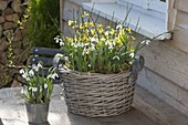 Basket with Jasminum nudiflorum and Galanthus nivalis