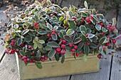 Tin box with Gaultheria procumbens (boxberry)