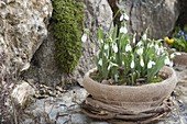 Galanthus nivalis in bowl, packed with plucking