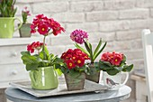 Primula acaulis and elatior in pitcher and cup, Hyacinthus