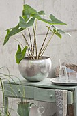 Alocasia zebrina with striped stems in a silver planter