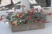 Echeveria herbergii in wooden box, blooming at the window
