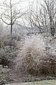 Frozen perennial flowerbed with aster (Herbstaster) and asparagus