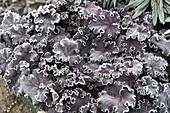 Frozen evergreen perennials