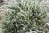 Frozen Pinus tip (pine)