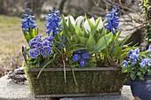 Primula acaulis (Primeln), Hyacinthus (Hyazinthen), Tulipa 'Calgary'