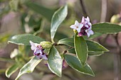 Daphne odora 'Aureomarginata' (Evergreen Daphne)