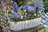White basket with Hyacinthus, Primula acaulis