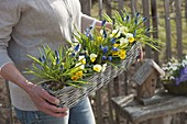 Woman carrying basket box with muscari, Viola cornuta