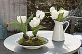 Tulipa 'Calgary' (tulip) white with moss in soup plate