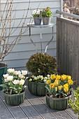 Spring balcony with Tulipa, Thuja 'Tim Tim'