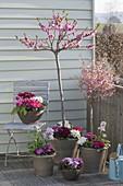 Spring balcony with Prunus persica 'Balkonella', Prunus incisa