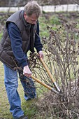 Man scoops out Rose rugosa in early spring