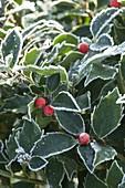 Overgrown Ilex aquifolium (Holly)