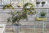 Sophora microphylla 'Sun King' Syn 'Hilsop' (string tree)