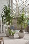 Beaucarnea recurvata, in the conservatory