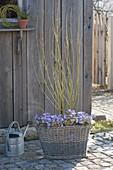 Cornus stolonifera 'Flaviramea', planted with anemone