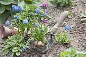 Muscari armeniacum (grape hyacinth) on planter
