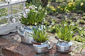 Planted old teapots, Muscari botryoides 'Album'