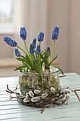 Muscari Aucheri 'Blue Magic' with moss in preserving jar