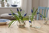 Muscari armeniacum 'Blue Pearl' (Grape Hyacinth)